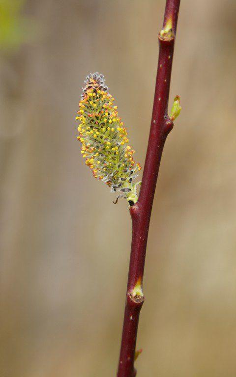 Salix daphnoides 'Aglaia'