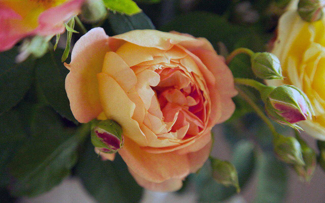 Rosa 'Lady of Shallott'
