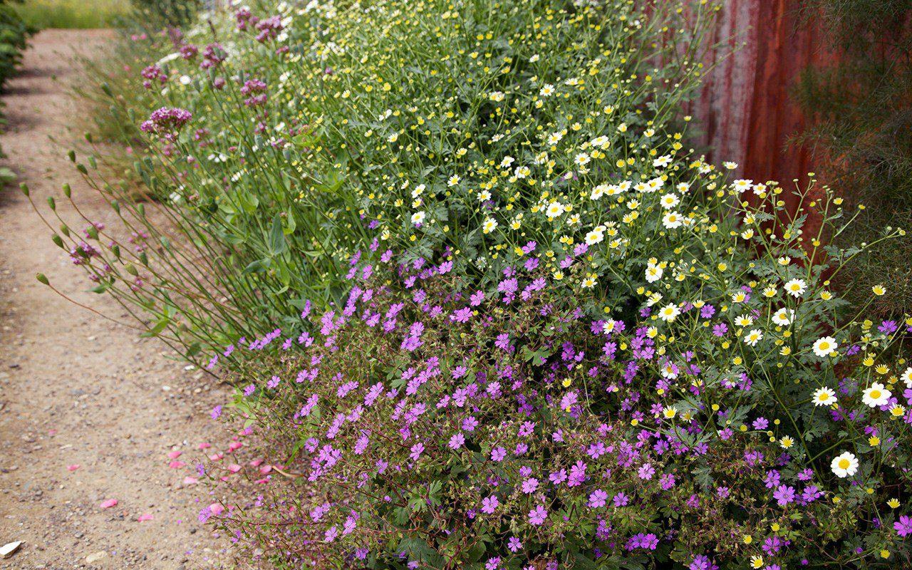 Geranium pyrenaicum 'Bill Wallis' & Tanacetum niveum