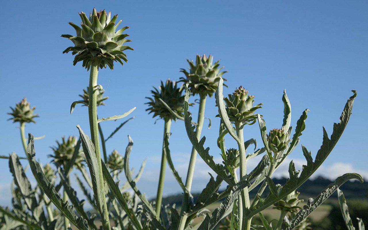 Artichokes - Cynara cardunculus var. scolymus 'Bere'