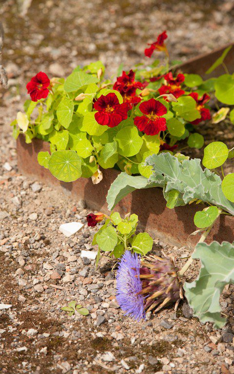 Nasturtium 'Mahogany' and Cynara cardunculus