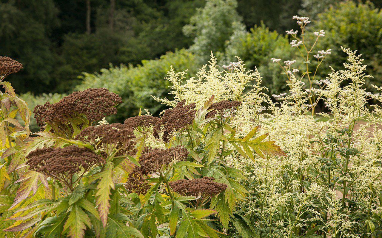 Achillea grandiflora and Artemisia 'Elfenbein'