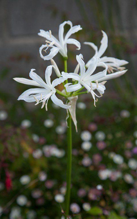 Nerine bowdenii 'Blanca Perla'