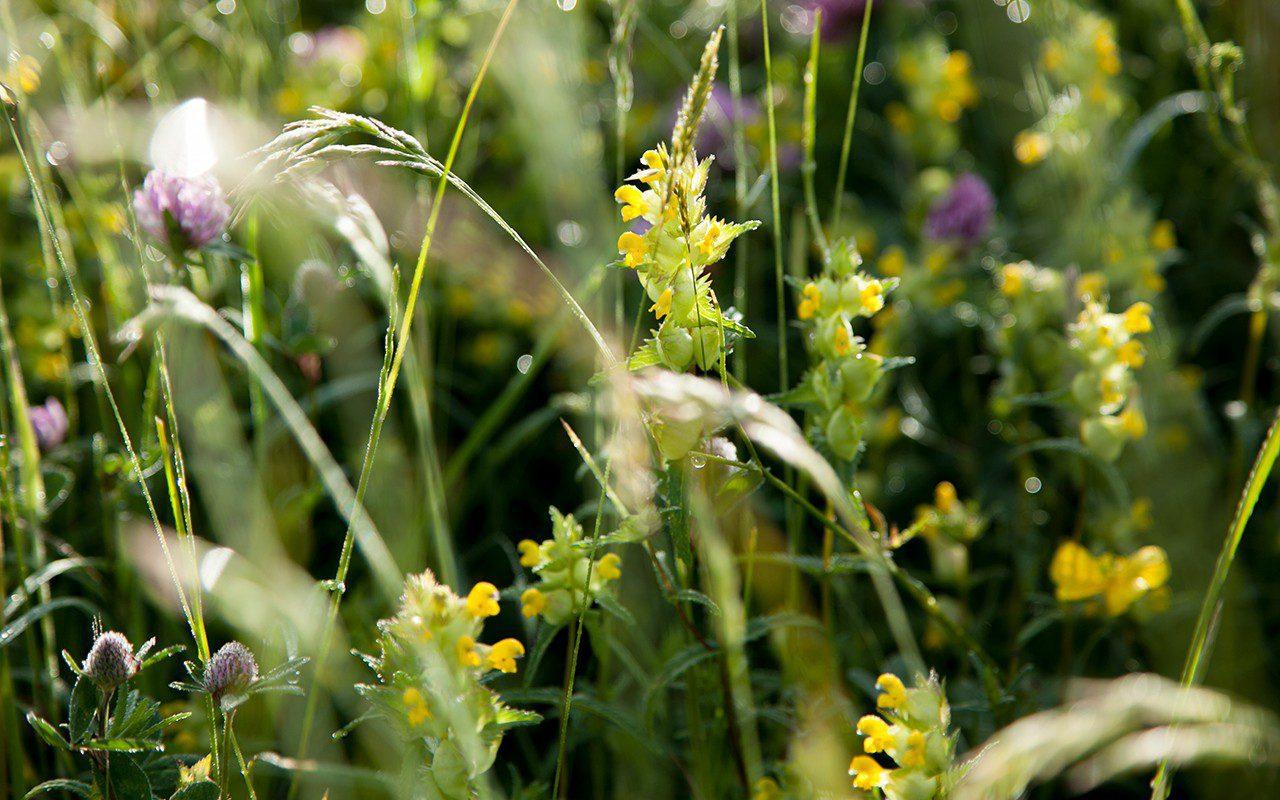 Yellow Rattle - Rhinanthus major