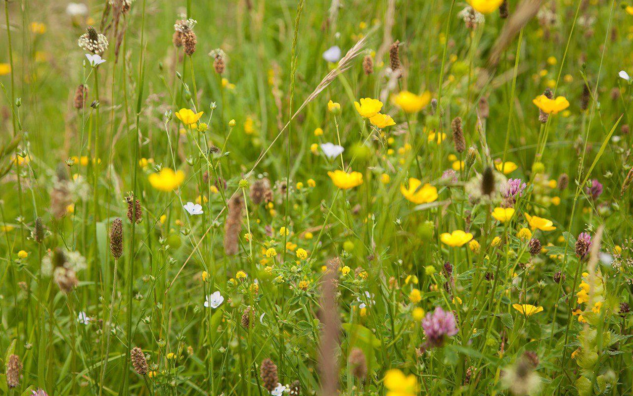 St. Catherine's meadow mix