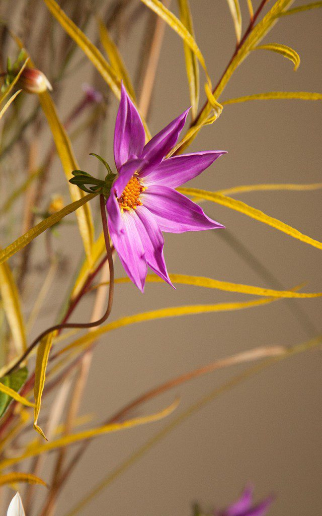 Dahlia australis