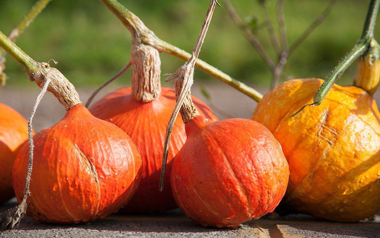Pumpkin 'Uchiki Kuri'