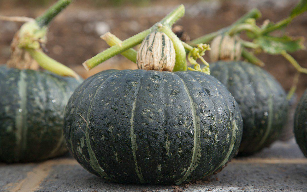 Pumpkin 'Chacha'