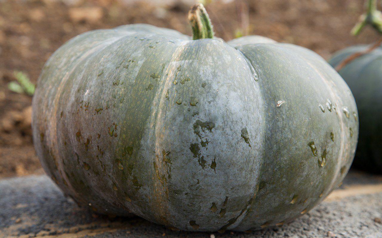 Pumpkin 'Musquee de Provence'