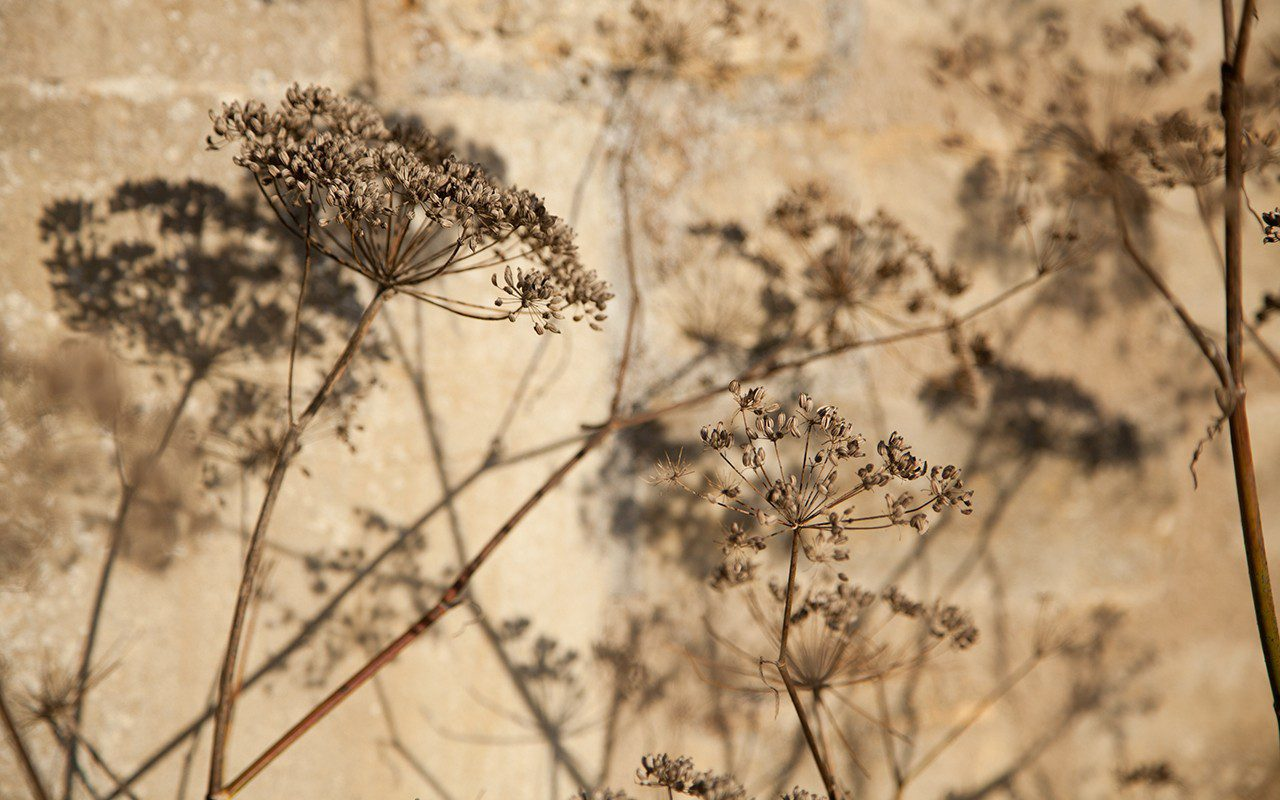 Bronze fennel - Foeniculum vulgare 'Purpureum'
