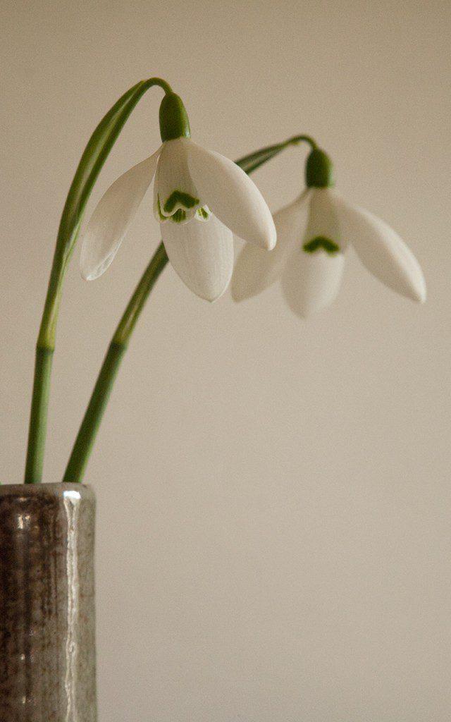 Galanthus elwesii 'Mrs. McNamara'