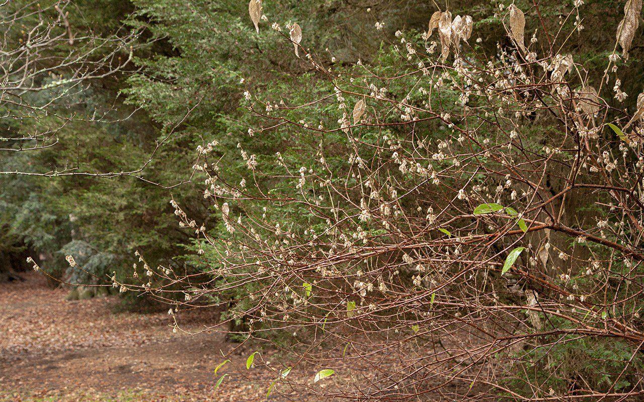 Chimonanthus praecox at Westonbirt Arboretum
