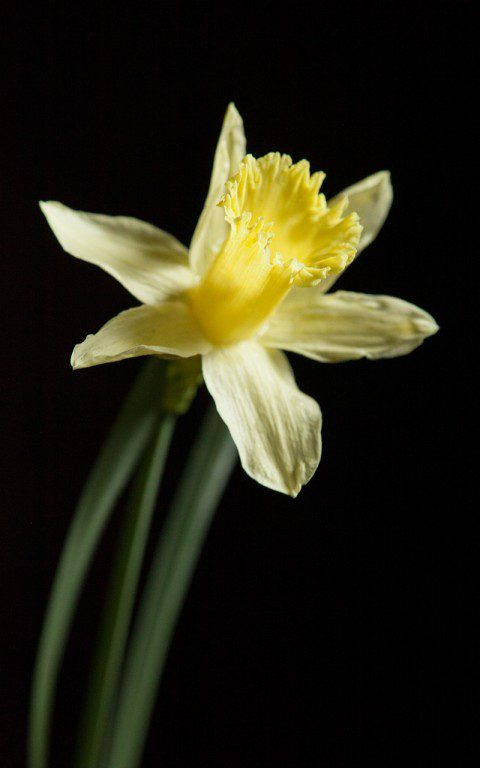 Narcissus pallidiflorus