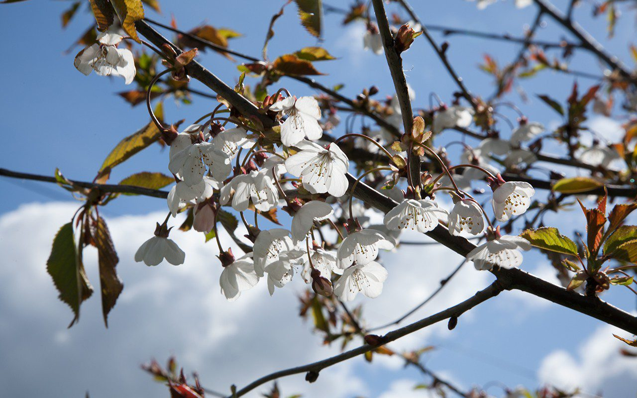 Wild Gean - Prunus avium