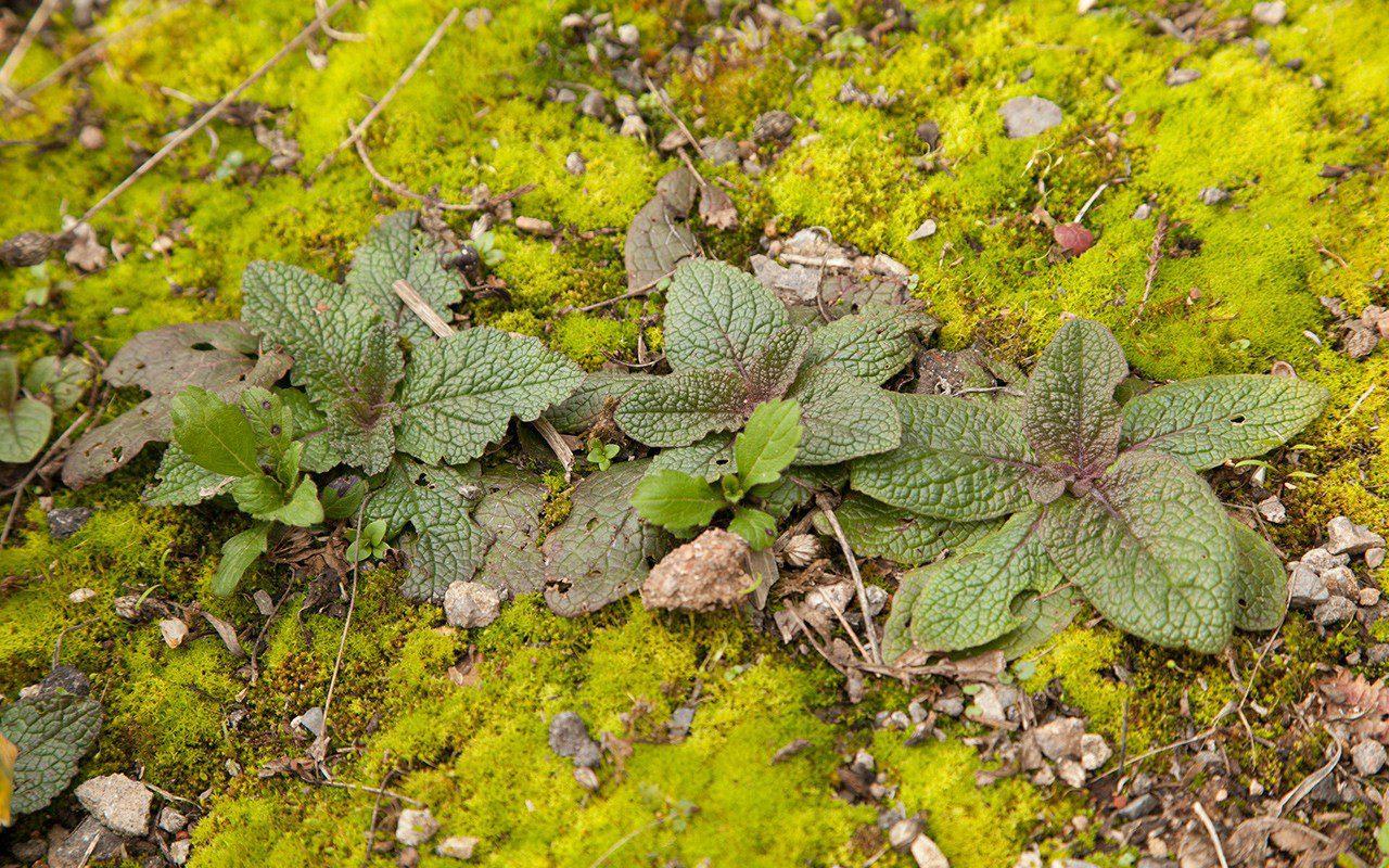 Seedlings of Verbascum phoeniceum 'Violetta'