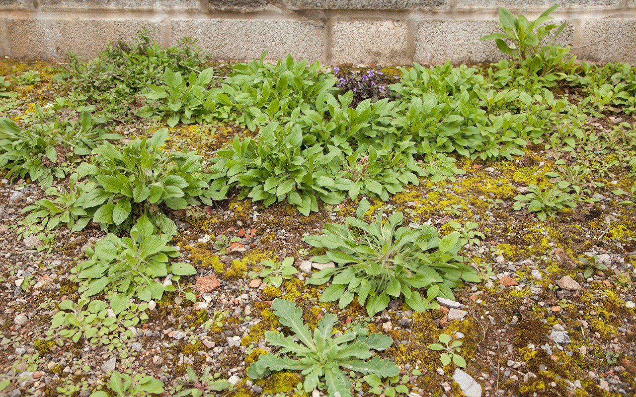 Seedlings of Erigeron annuus
