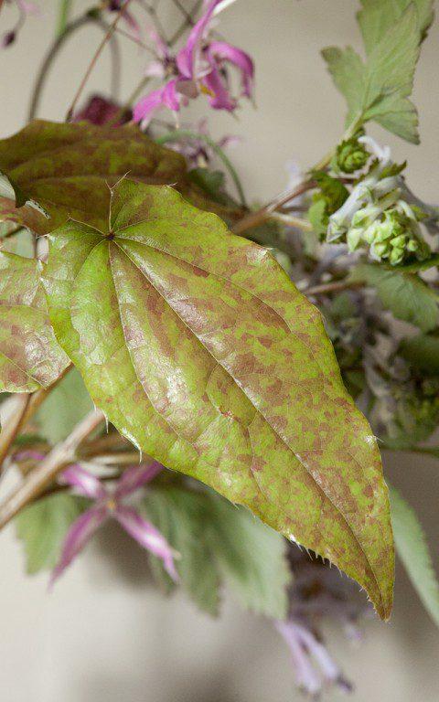 Epimedium leptorrhizum 'Mariko' foliage