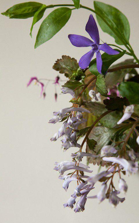 Vinca major var. oxyloba and Corydalis temuifolia 'Chocolate Stars'