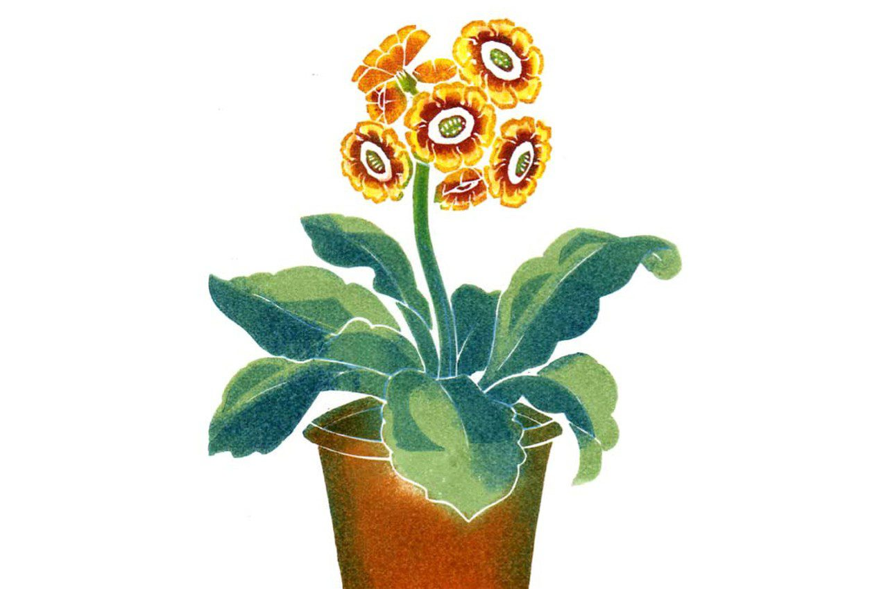 Primula_auricula by Clare Melinsky