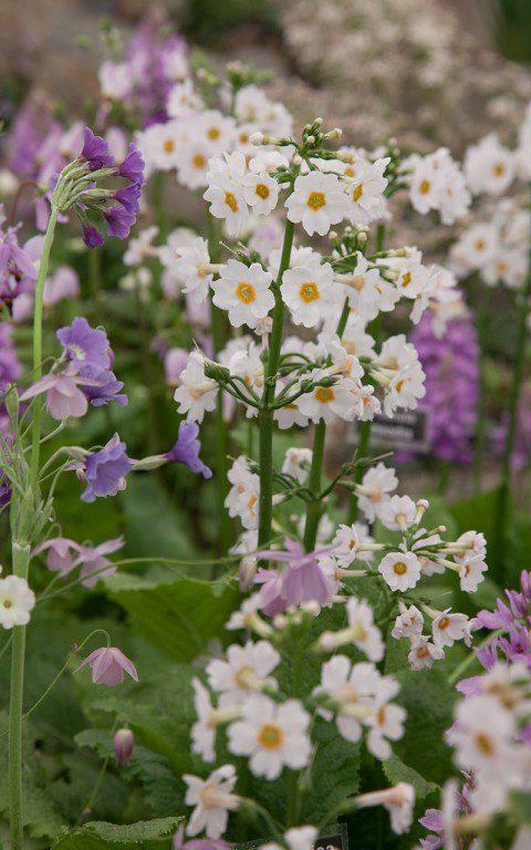 IMG_0824(Primula_japonica_Postford_White_Kevock)