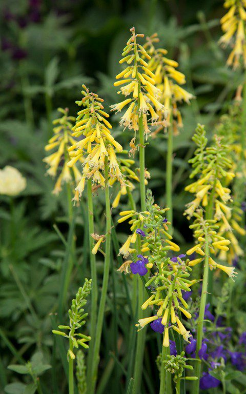 IMG_0858(Kniphofia_pauciflora)