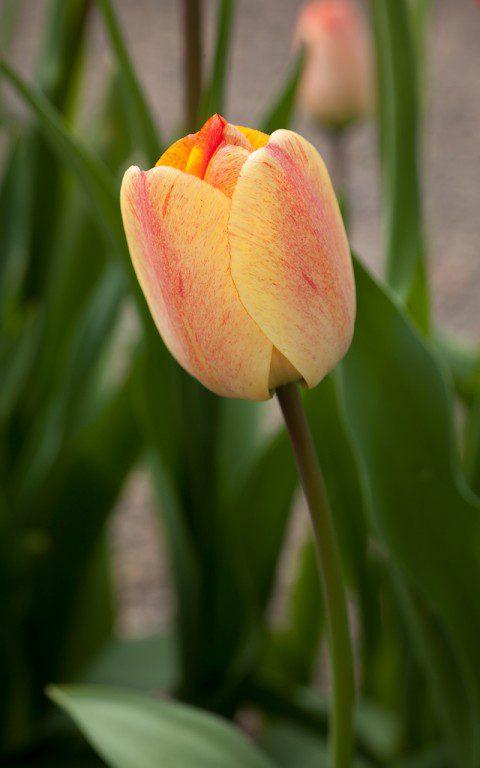 Tulipa 'Gudoshnik'