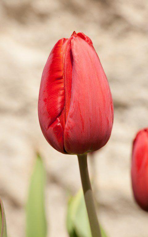 Tulip 'Panorama'