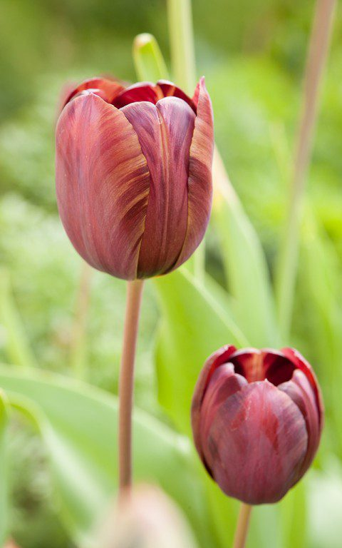 Tulipa 'Absalon'