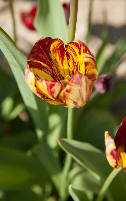 Tulipa 'Royal Sovereign'