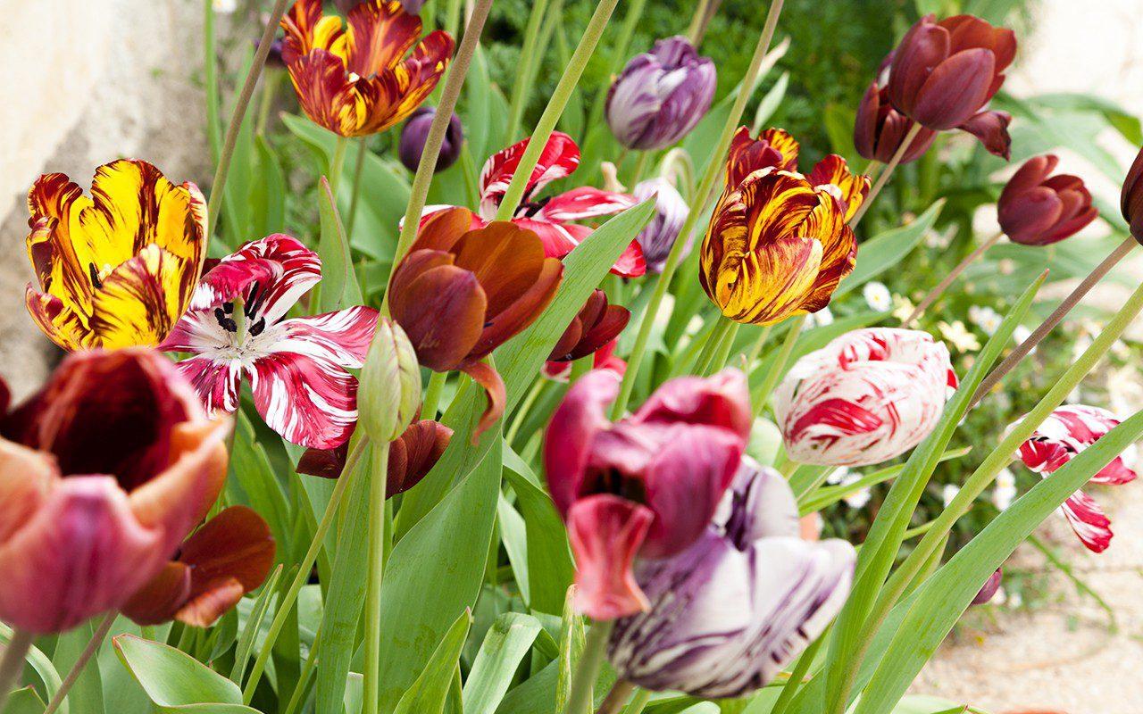 Mix of historical tulips for Hortus Bulborum
