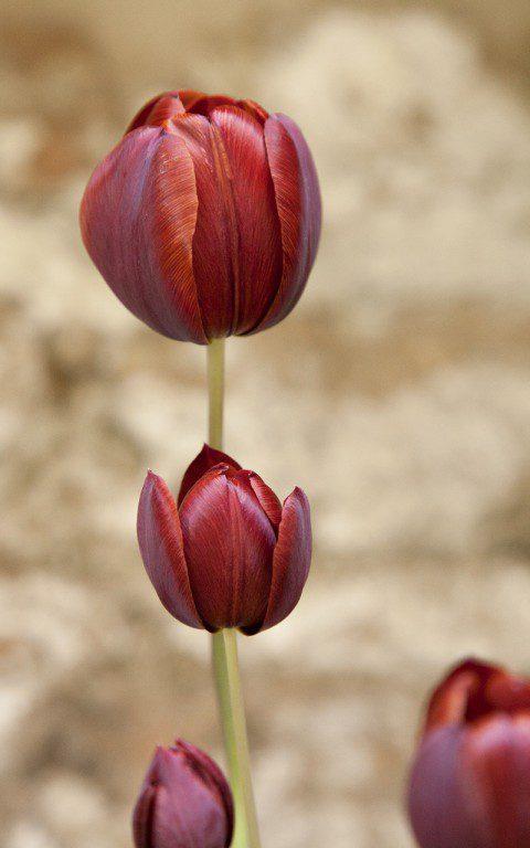Tulipa 'Prince-of-Wales'