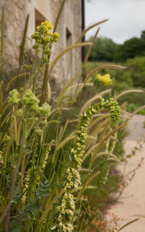 Hordeum bulbosum, Digitalis lutea and Thalictrum flavum ssp. glaucum