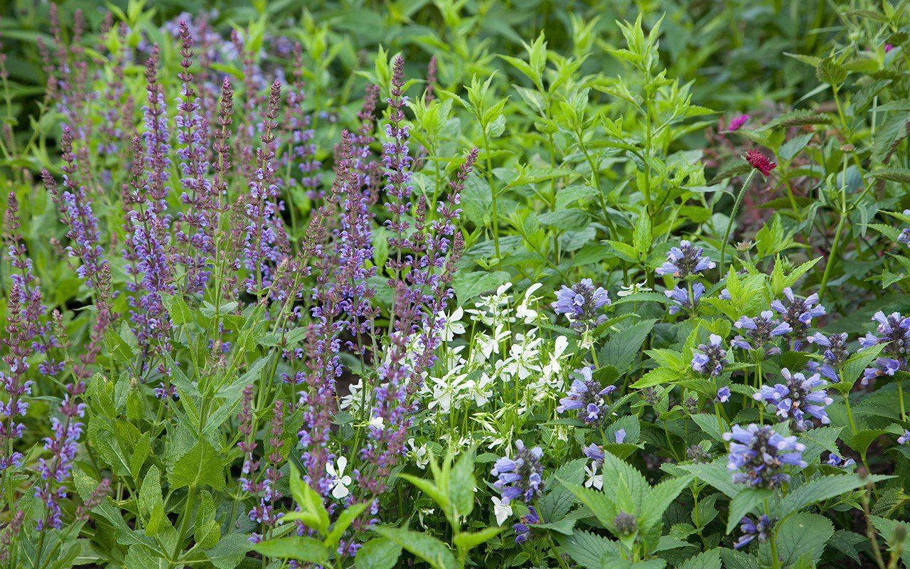 Salvia pratensis 'Indigo', Nepeta subsessilis 'Washfield' , Viola cornuta 'Alba' & Knautia macedonica