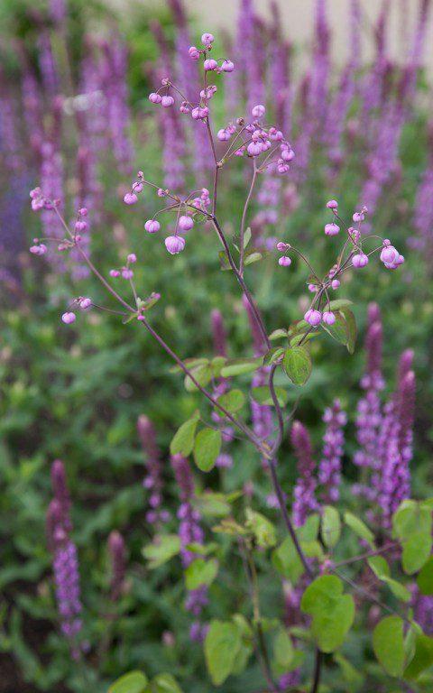 Thalictrum rochebrunianum with Salvia nemerosa 'Amethyst' behind