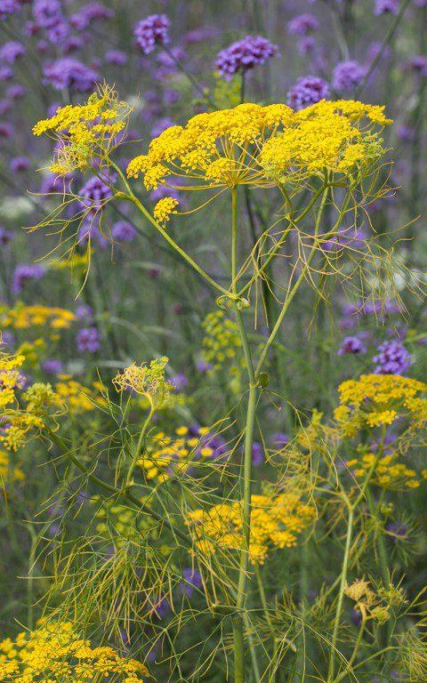 Ridolfia segetum. Photo: Huw Morgan