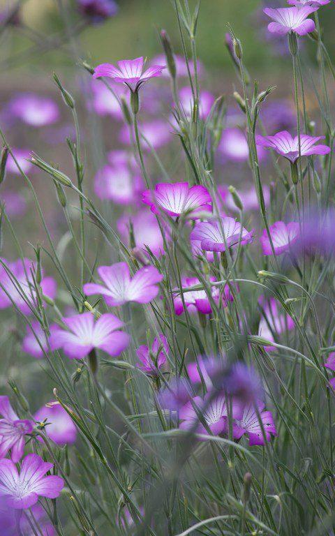 Agrostemma githago 'Milas'. Photo: Huw Morgan