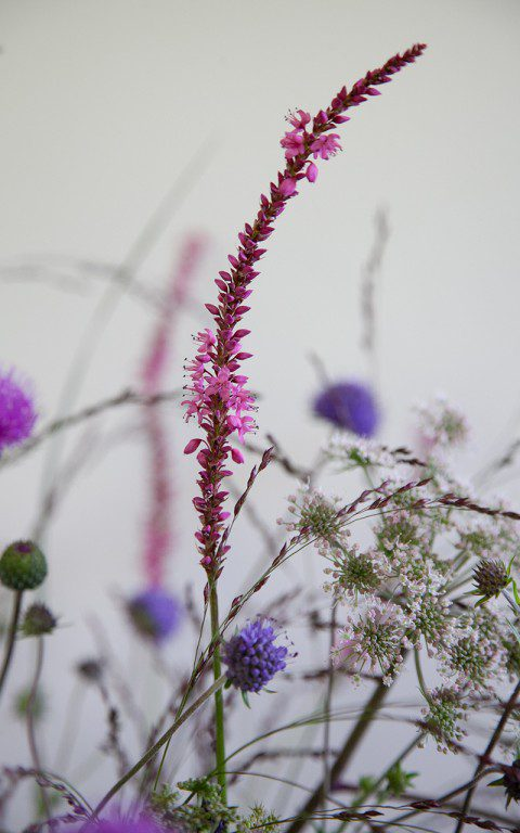 Persicaria amplexicaule 'September Spires'