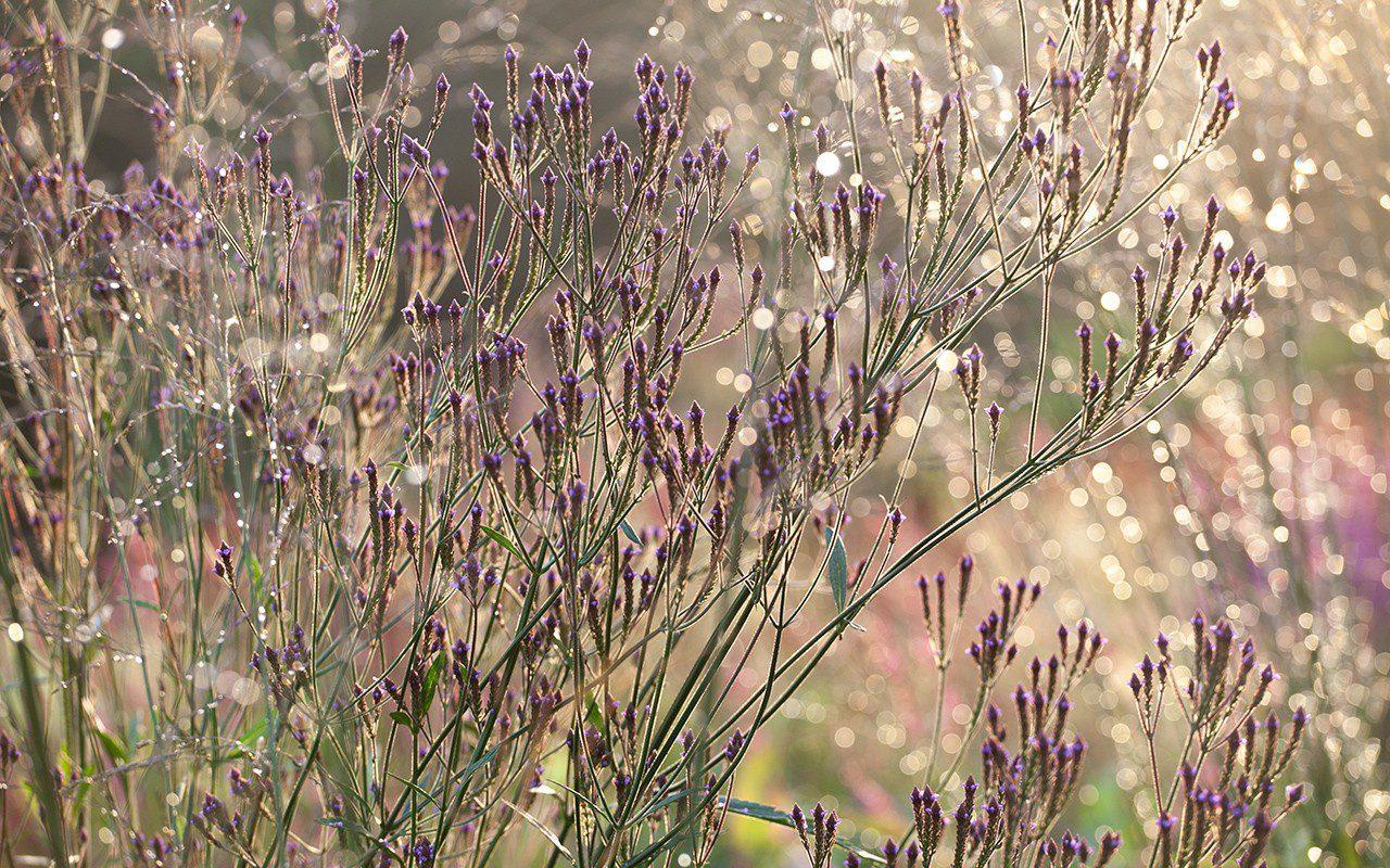 Verbena macdougallii 'Lavender Spires'. Photo: Huw Morgan