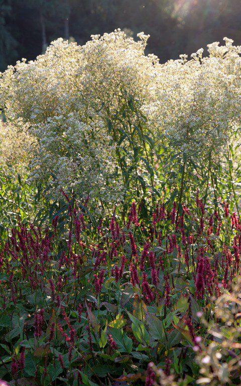 Aster umbellatus and Persicaria amplexicaulis 'Blackfield'. Photo: Huw Morgan