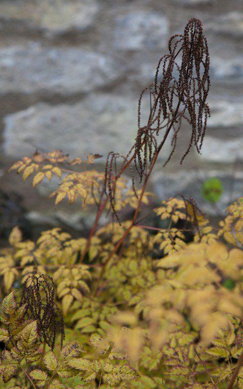 Aruncus dioicus 'Horatio'. Photo: Huw Morgan
