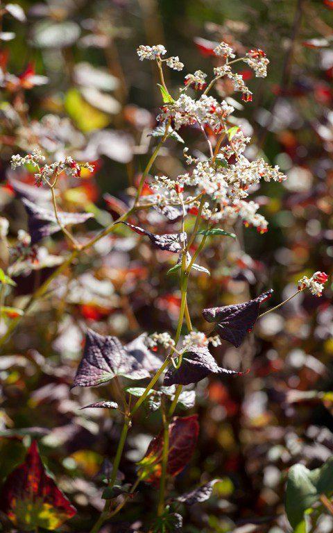 Fagopyrum dibotrys. Photo: Huw Morgan