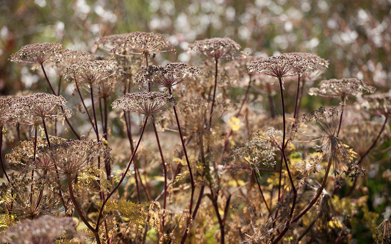 Selinum wallichianum. Photo: Huw Morgan