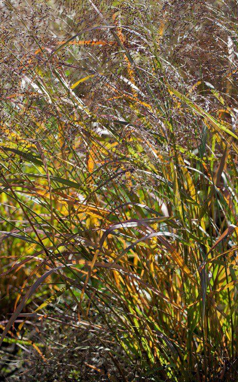Panicum virgatum 'Shenandoah'. Photo: Huw Morgan