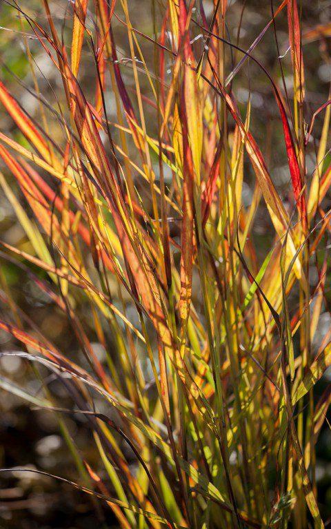 Panicum virgatum 'Rehbraun'. Photo: Huw Morgan