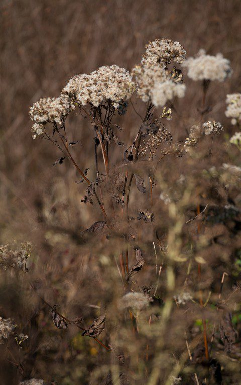 Eupatorium fistulosum f. albidum 'Ivory Towers'. Photo: Huw Morgan