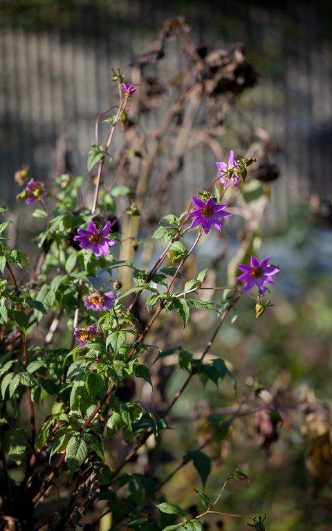 Dahlia australis. Photo: Huw Morgan