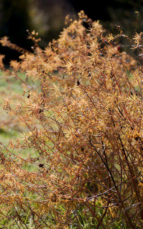Euphorbia x pseudovirgata. Photo: Huw Morgan