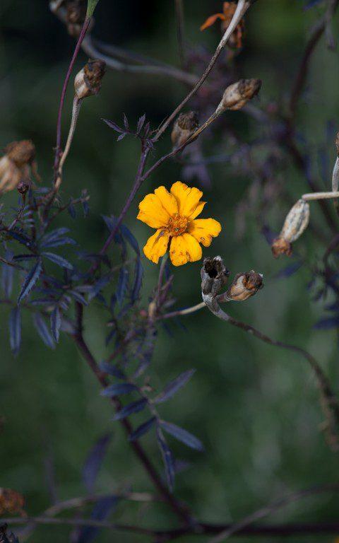 Tagetes patula. Photo: Huw Morgan