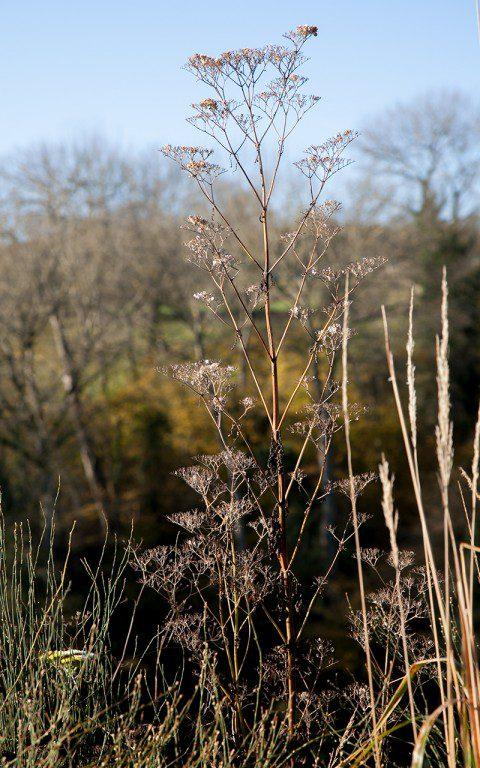 Patricia scabiosifolia. Photo: Huw Morgan
