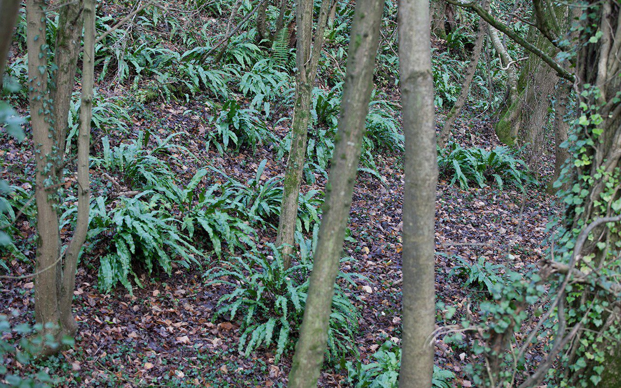 A large colony of hart's tongue fern - Aspelnium scolopendrium. Photo: Huw Morgan